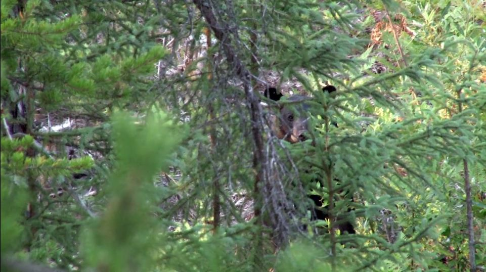 Black Bear in Woods Lost Lake Lodge