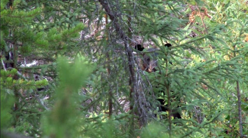 Black Bear in Woods Lost Lake Lodge